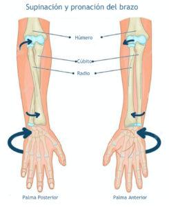 Wing chun - anatomia del brazo.